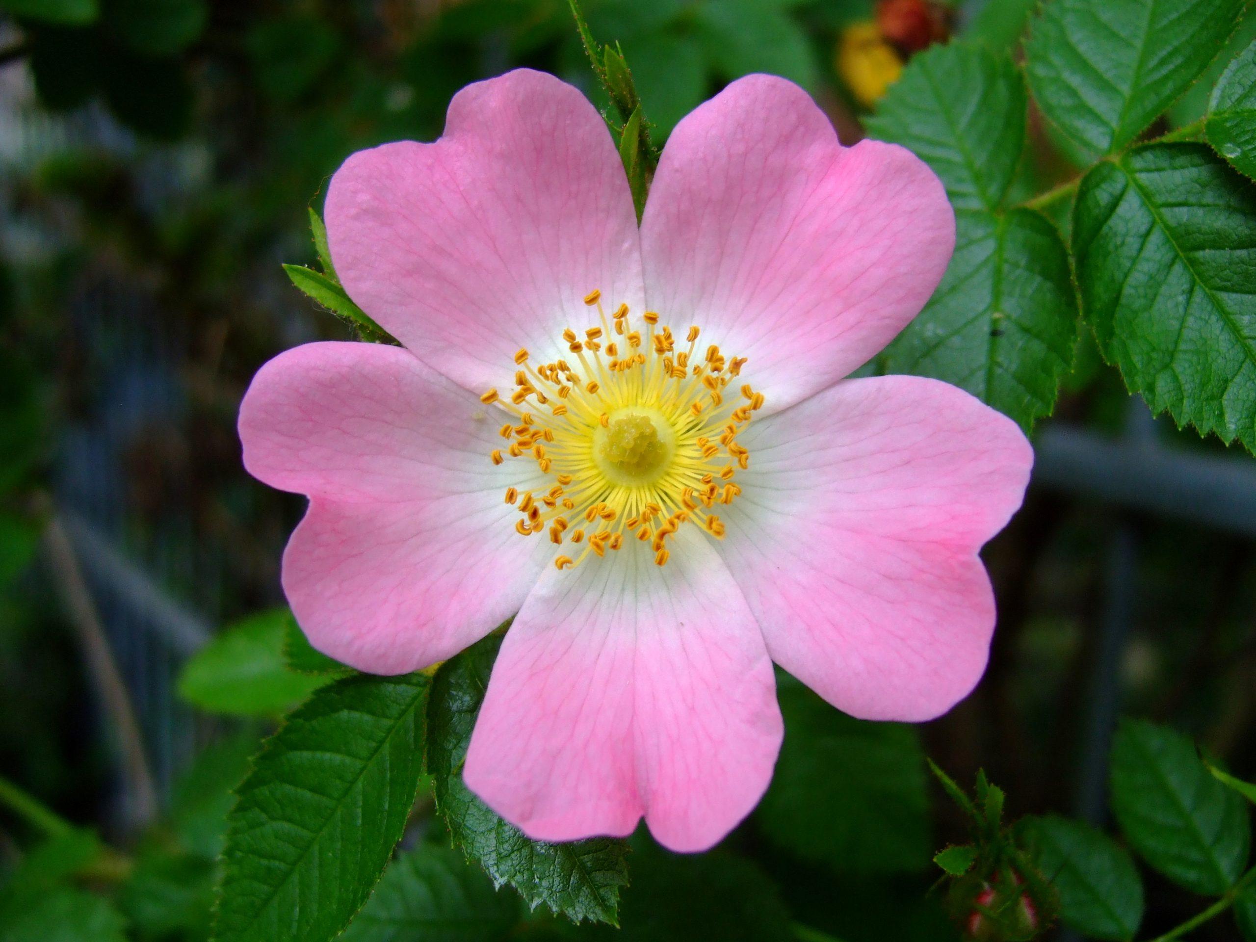 Ruža Rosa canina