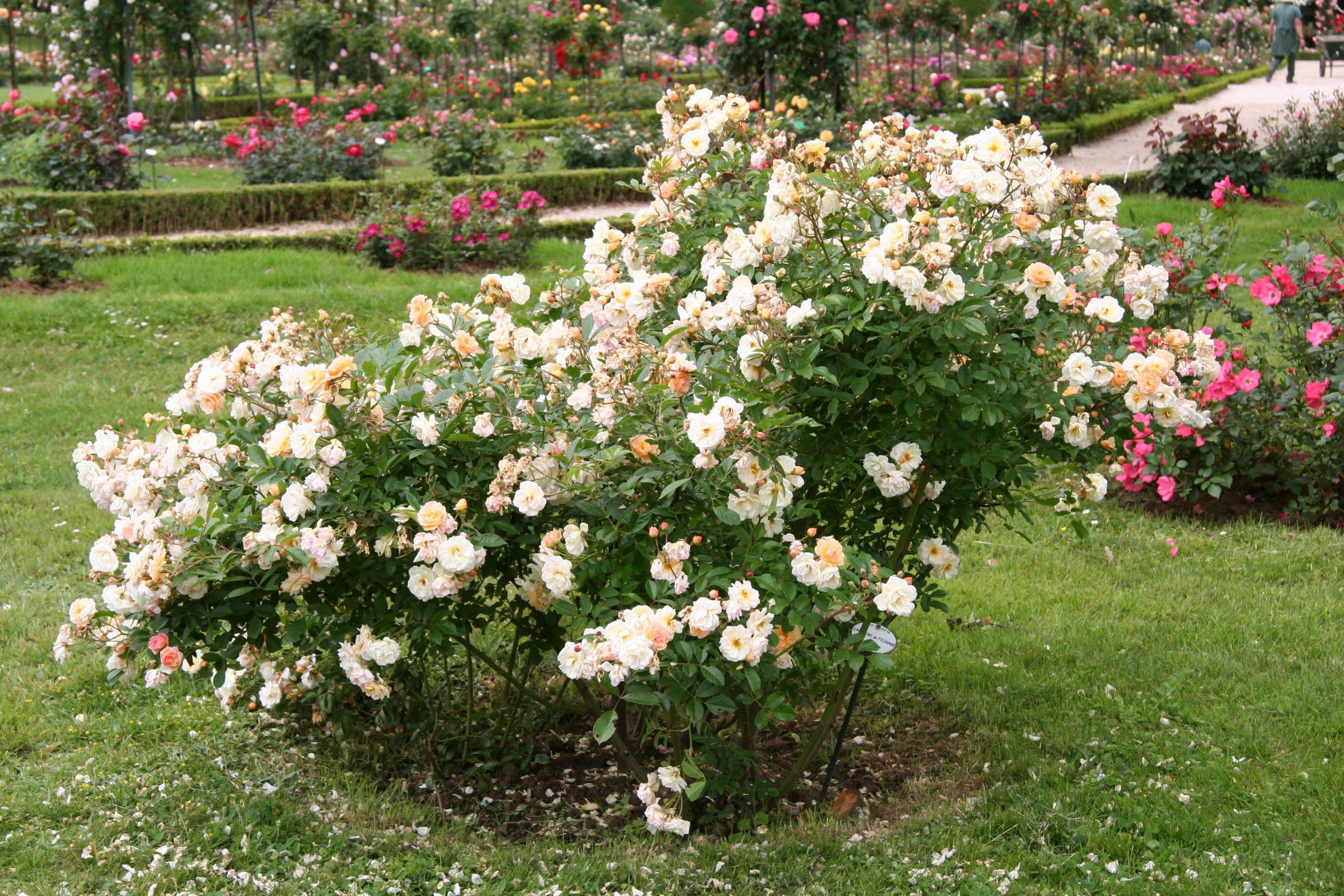 Ruža Rosa Ghislaine de Féligonde