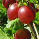 Egreš  Ribes uva-crispa Captivator