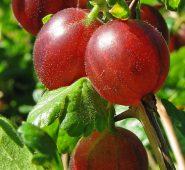 Egreš Ribes uva-crispa Hinnonmaeki Rod