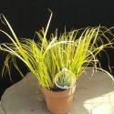 Bylinná tráva Variegatus Acorus calamus Variegatus