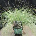 Ostrica chocholatá Curls Carex Frosted Curls
