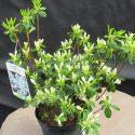 Azalka japonská Diamant Weiss Azalea japonica Diamant Weiss