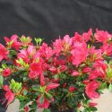 Azalka japonská Hino Crimson Azalea japonica Hino Crimson