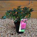 Azalka japonská Melina Azalea japonica Melina