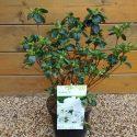 Azalka japonská Schneeperle Azalea japonica Schneeperle
