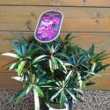 Rododendron Greziella Rhododendron Graziella