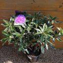 Rododendron ponticum Variegatum Rhododendron ponticum Variegatum