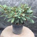 Rododendron yakushimanum Blurettia Rhododendron yakushimanum Blurettia
