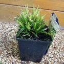 Ostrica morrowii Variegata Carex morrowii Variegata