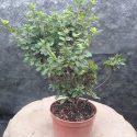 Azalka japonská Kermesina Azalea japonica Kermesina