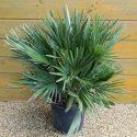 Palma nízka Chamaerops humilis