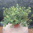 Azalka japonská Purpurtraum Azalea japonica Purpurtraum