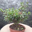 Azalka japonská Maruschka Azalea japonica Maruschka