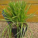 Ostrica dolichostachya Kaga Nishiky Carex dolichostachya Kaga Nishiky