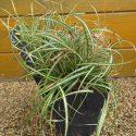 Ostrica oshimensis Everlite Carex oshimensis Everlite