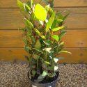 Vavrín pravý Laurus nobilis