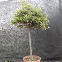 Azalka japonská Azalea japonica (kmienik)